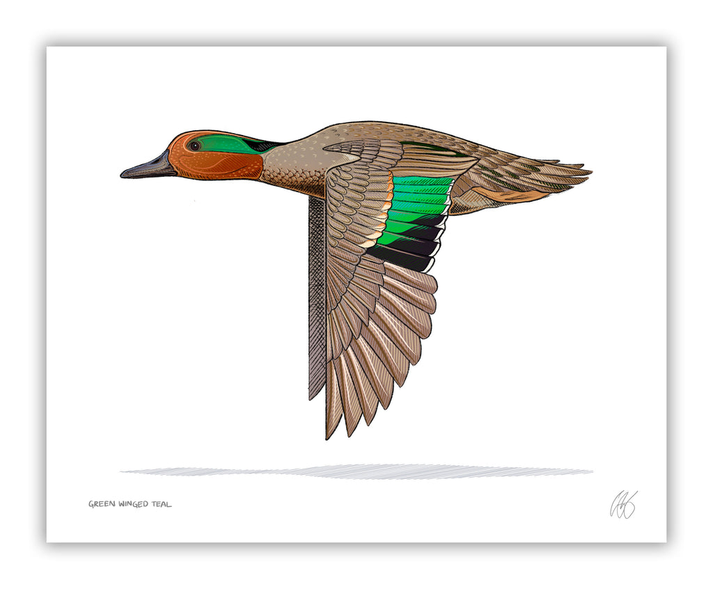 Green Winged Teal Print