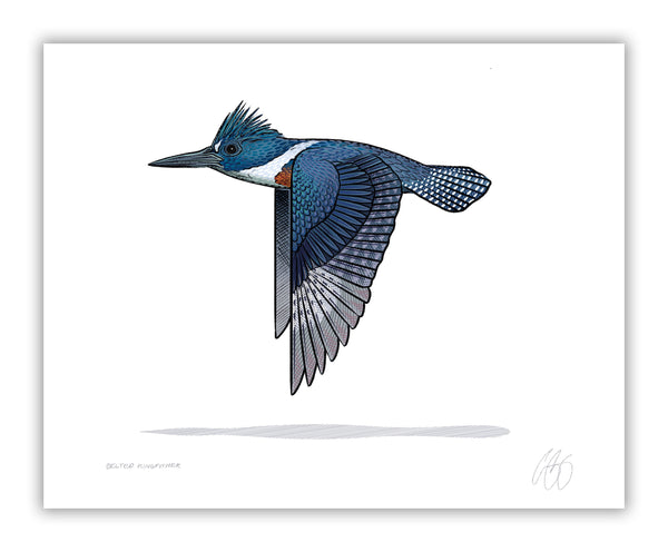 Belted Kingfisher Print