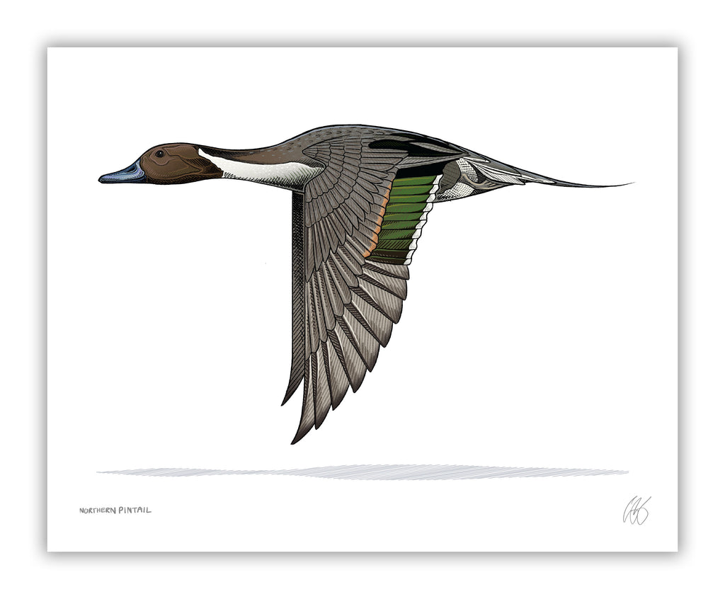 Northern Pintail Print