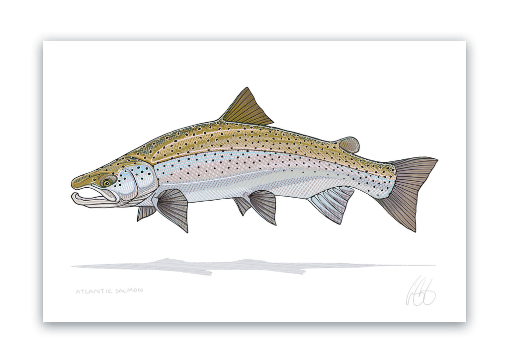 Atlantic Salmon Print