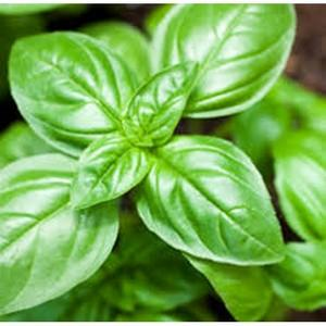Basil (Sweet) - Seedling - Beechworth Natural Farm