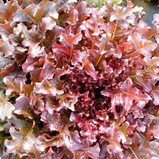 Lettuce Salad Bowl Red - Seedling - Beechworth Natural Farm