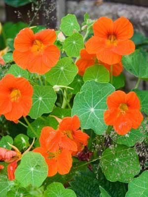 Nasturtium - seedling - Beechworth Natural Farm