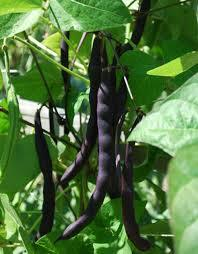 Bean Purple King (Climbing Bean) - Seedling - Beechworth Natural Farm