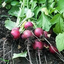 Radish - bunch - Beechworth Natural Farm