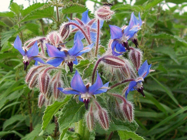 Borage - Seedling - Beechworth Natural Farm