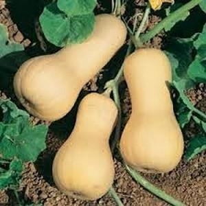 Pumpkin Butternut - Seedling - Beechworth Natural Farm