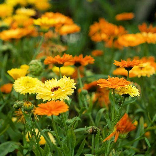 Calendula - seedling - Beechworth Natural Farm