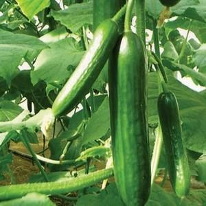 Lebanese cucumber - Seedling - Beechworth Natural Farm