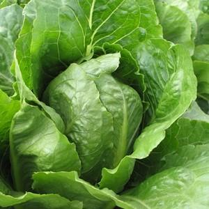 Cos lettuce - Beechworth Natural Farm