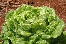 Lettuce - Green Butter - Beechworth Natural Farm