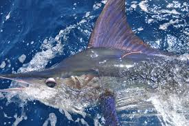 Waihau bay Billfish Tagging Tournament (Per Boat)