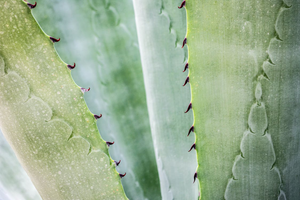 aloe vera plant with thick, oozing gel