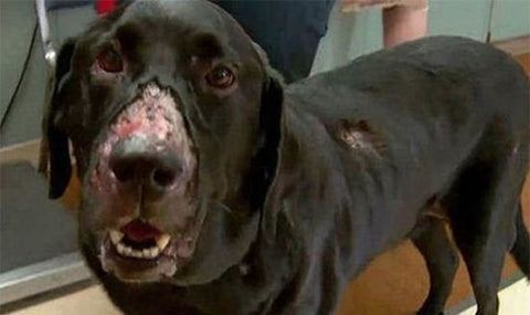 Alabama Rot UK - Mouth Lesions