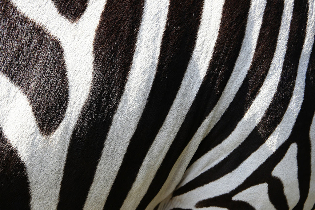 Animals zebra zebra crossing
