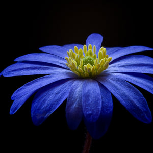 Balkan anemone flower blossom bloom