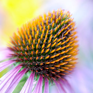 Bloom colorful coneflower detail
