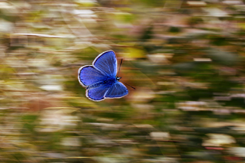 Butterfly panning bluewings