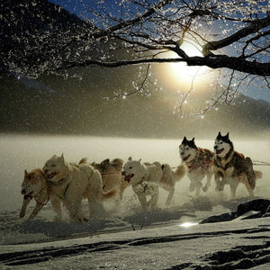 Dogs huskies animal dog racing