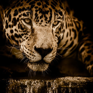 Jaguar water stalking eyes