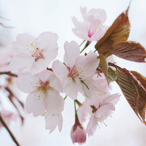 Japanese cherry trees