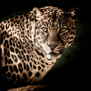Leopard close eyes menacing