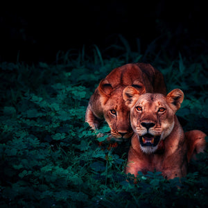 Lions cubs pair cute jungle