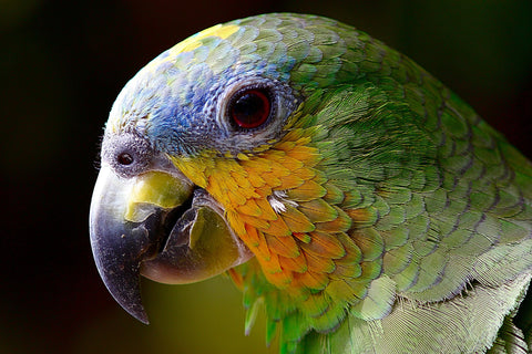 Parrot amazon animals bird green