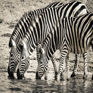 Zebra safari wildlife savanna