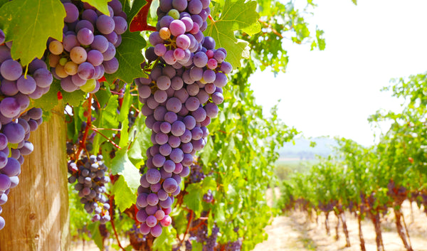 The Amazing Resveratrol-Rich Grape
