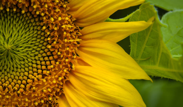 Radiate Like A Sunflower