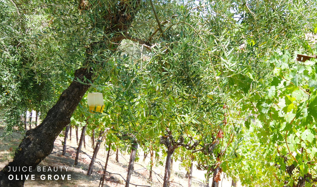 Juice Beauty Farm Olive Grove