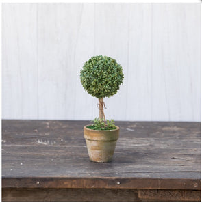 "Boxwood 8.25"" Small Single Topiary"