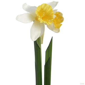 White and yellow daffodil stem