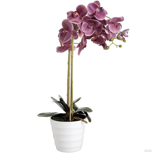 Eternity Purple  Burst Potted Orchid