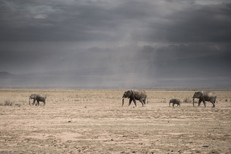 Elephant Fine Art Photography - Elephants Of Amboseli