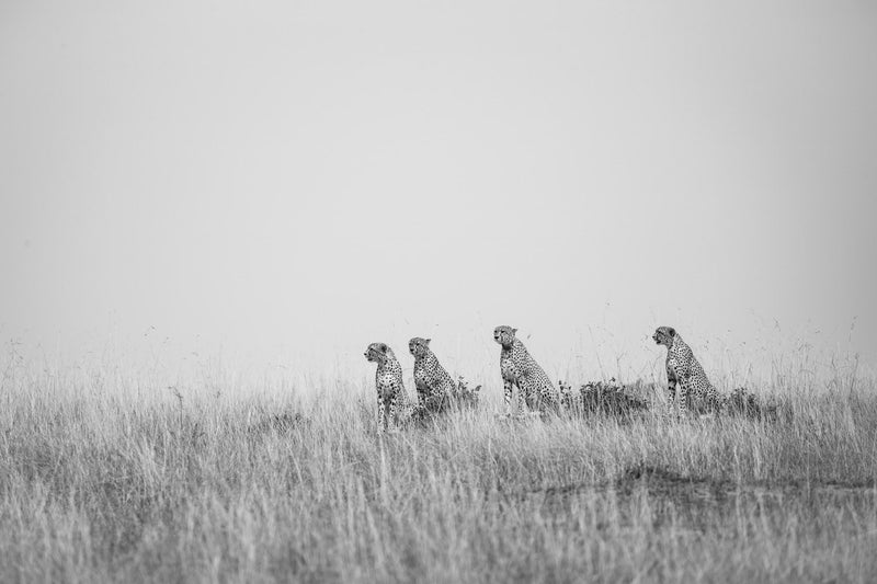 Wildlife Fine Art Photography - Cheetah Pack