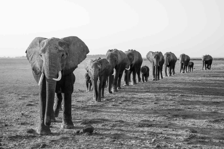 Elephant Fine Art Photography - Line Formation