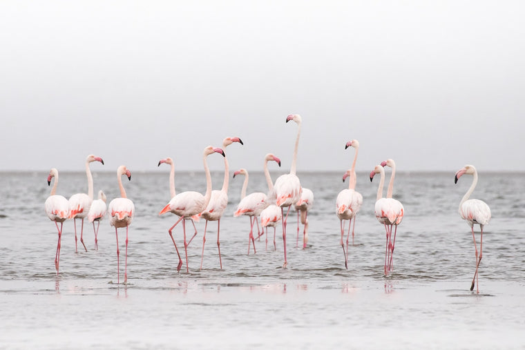 Wildlife Fine Art Photography - Flamingos
