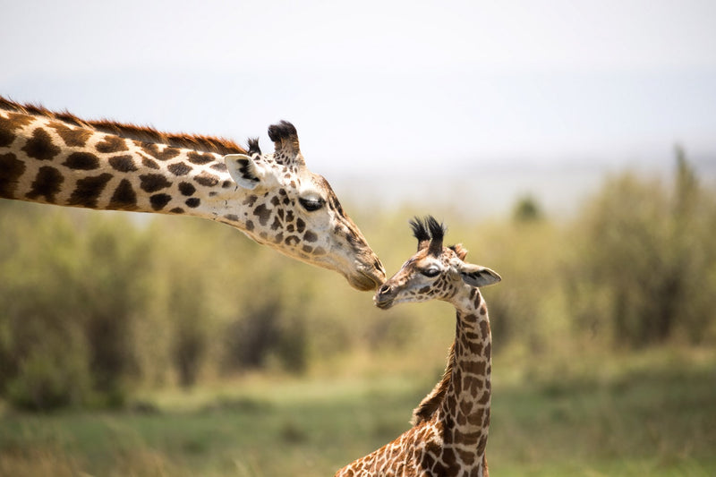 Giraffe Fine Art Photography - Affection