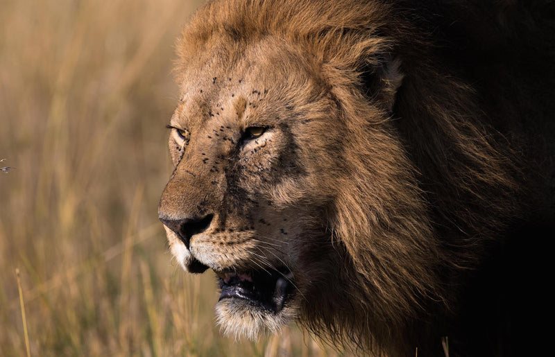 Lion Fine Art Photography - The King