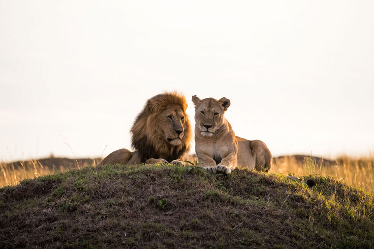 Lion Fine Art Photography - Honeymoon Couple