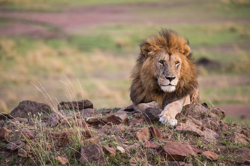 Lion Fine Art Photography - Pose