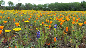 Malibu Wildflower Seed Mix - visitors