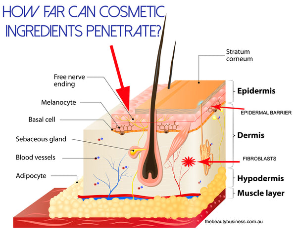 cosmetic ingredients penetration