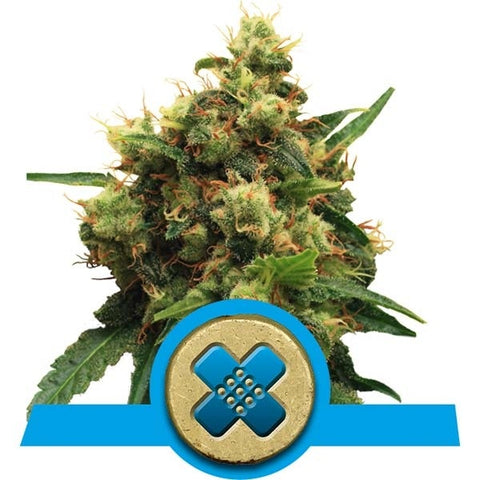 Royal Queen Seeds - Painkiller XL (CBD) - The JuicyJoint