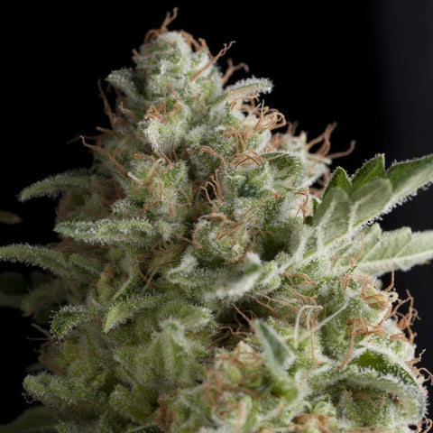 Pyramid Seeds - American Pie - The JuicyJoint