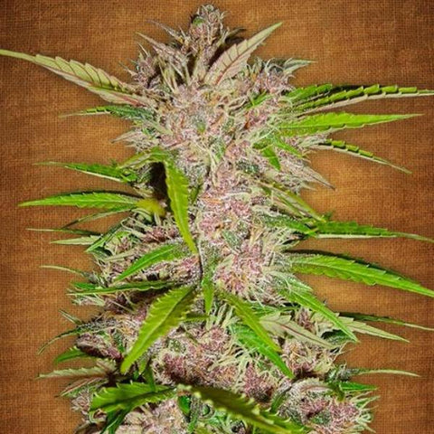 Fast Buds - Fastberry - The JuicyJoint