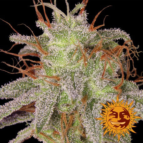 Barneys Farm Seeds - Amnesia Lemon - The JuicyJoint