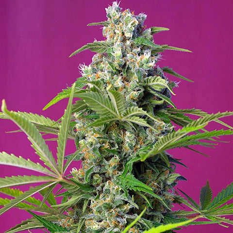 SALE!! Sweet Seeds - Gorilla Girl